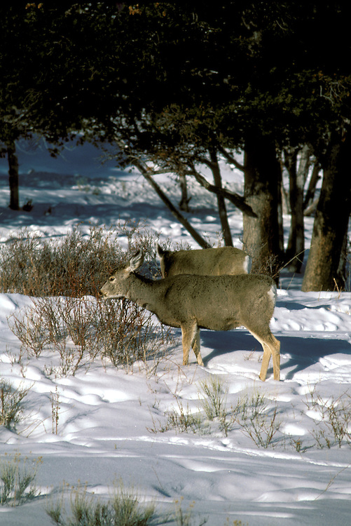 WY: Wyoming; Yellowstone National Park, Deer at Gardiner       .Photo Copyright Lee Foster, lee@fostertravel.com, www.fostertravel.com, (510) 549-2202.Image: wyyell223