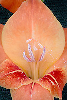 Gladiolus 'Hastings' ('Cafe au Lait') gladioli summer bulb, pollen, pollination, stamens, pistils, flower, closeup