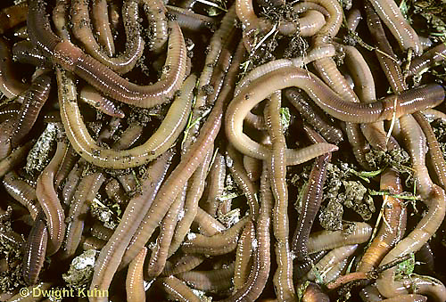 1Y01-040a  Earthworm - mass of nightcrawlers - Lumbricus terrestris