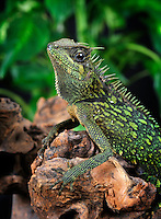 Mountain Horned Dragon (Acanthosaura armata), captive.