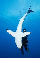 TH1960-D. Silky Shark (Carcharhinus falciformis) in a relaxed trance-like state called tonic immobility. Professional scuba diving guide gently holds the 6 foot long shark for a few moments, supporting its snout, before releasing it to swim off into the blue. Cuba, Caribbean Sea.<br /> Photo Copyright &copy; Brandon Cole. All rights reserved worldwide.  www.brandoncole.com<br /> <br /> This photo is NOT free. It is NOT in the public domain. This photo is a Copyrighted Work, registered with the US Copyright Office. <br /> Rights to reproduction of photograph granted only upon payment in full of agreed upon licensing fee. Any use of this photo prior to such payment is an infringement of copyright and punishable by fines up to  $150,000 USD.<br /> <br /> Brandon Cole<br /> MARINE PHOTOGRAPHY<br /> http://www.brandoncole.com<br /> email: brandoncole@msn.com<br /> 4917 N. Boeing Rd.<br /> Spokane Valley, WA  99206  USA<br /> tel: 509-535-3489