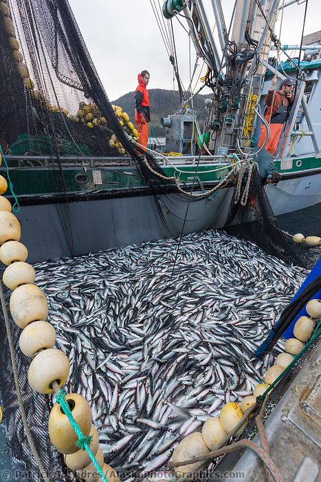Fishing vessel purse seine full of fish during the Sitka sac roe herring fishery in southeast, Alaska.