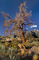 711700140 a dead tree frames lone pine peak in the eastern sierras seen from the alabama hills in kern county california