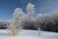 Hoar Frost on Bushes and Trees in Snow-Covered Field against Clear Blue Sky in mid-Morning
