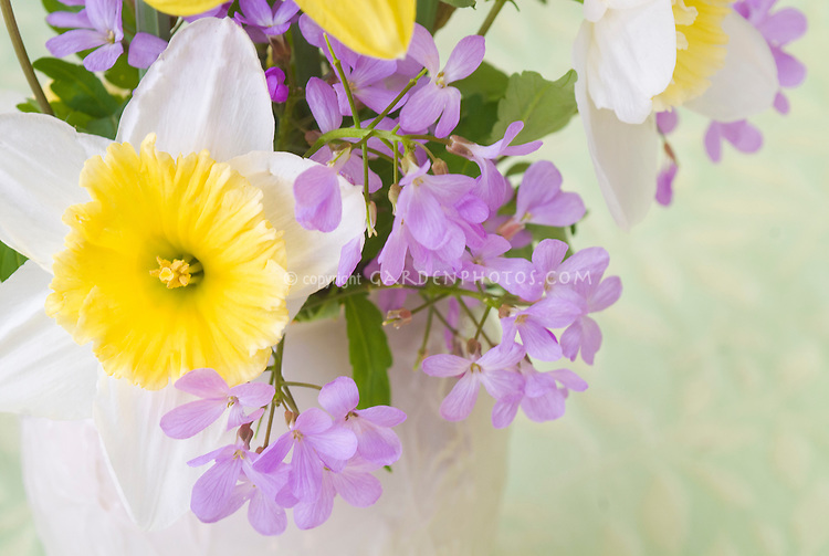 Cut flowers in spring Narcissus daffodil bulbs and Cardamine purple flowers, bouquet of cutflower bunch with spring blooming bulbs and perennials in white Lenox vase