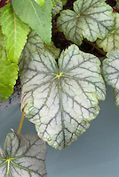 Heuchera Mint Frost, shade garden foliage plant with green silvery leaves and prominent leaf veins