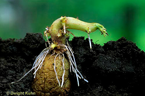 HS05-025z  Potato - eye sprouting