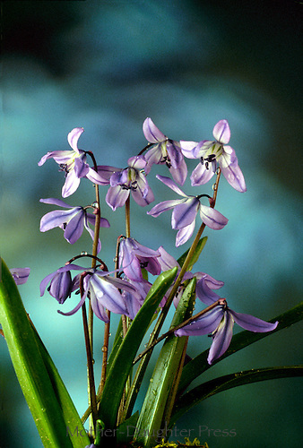 "Siberian scilla or ""spring beauty"" a perennial spring plant native to Siberia that blooms in early spring"