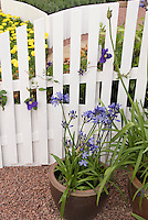 Agapanthus in pots in front of white picket fence with clematis vine, with yellow marigolds behind