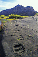 Grizzly bear tracks, Brooks range, Alaska