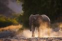 Namibia;  Namib Desert, Skeleton Coast,  desert elephant (Loxodonta africana) running in dry river bed