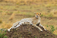 The beautiful and illusive cheetah is found across the Massai Mara with the most notable area the Paradise Plains near the Mara River. Unlike other big cats in Africa, cheetah don't have territories, they live on a home range that often overlap.