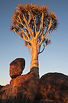 Quiver tree, Aloe dichotoma, Quiver tree forest, Keetmanshoop, Namibia, Africa