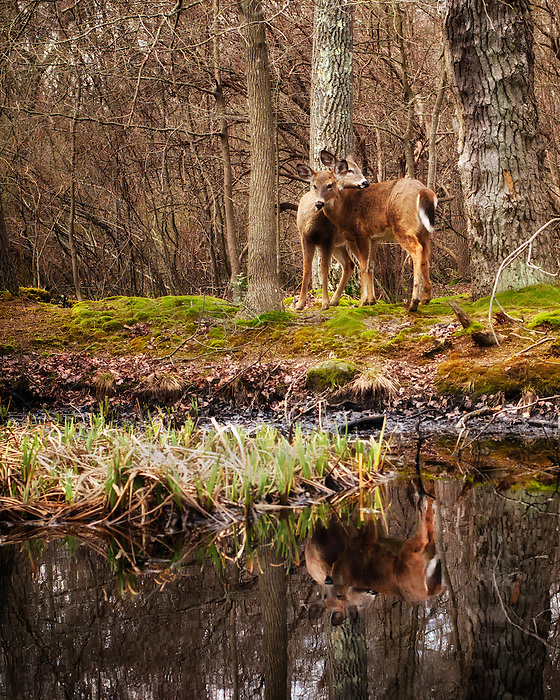 Seatuck Deer Pair and their Reflection - Seatuck Environmental Center, Islip, Long Island