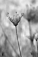 A stalk of dry Queen Anne's Lace along Highway 128 between Geyserville and Calistoga in Napa County in Northern California.