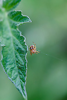 Garden spider on a tomato leaf