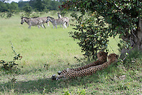 A pair of cheetahs sit in the shade watching a herd of zebras, Botswana, Africa