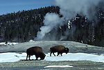 bison and Old Faithful Geyser cone