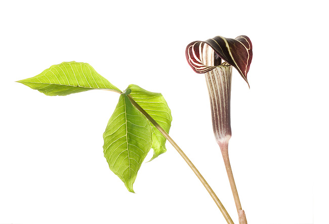 Jack-in-the-Pulpit (Arisaema triphyllum), Greenville, South Carolina, United States