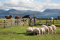 Sheep and Horses at Skipness Castle, Kintyre in Scotland with the Isle of Arran in the background