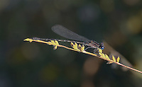 338400025 a wild male blue-ringed dancer argia sedula perches on a flower stem in yuma county arizona