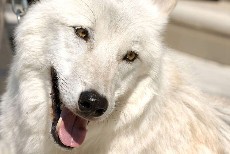 Atka, a 3-year old Arctic grey wolf, was on a hand for a news conference were Rep. George Miller, D-Calif., introduced legislation that would protect wildlife from the illegal practice of airborne hunting.