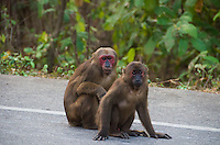 Stump-tailed Macaques (Macaca arctoides) are found in subtropical and tropical broadleaf evergreen forests. They are sometimes found on roads that cut through forests, as they are more agile on the ground than in trees. Phetchaburi, Thailand.