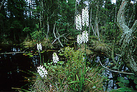 Wild White Fringed Orchids, savannah, Pine Barrens, New Jersey