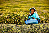 Korean Green Tea Plantation