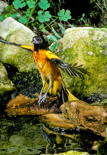 Oriole jumping into a pool