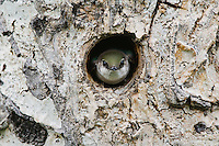 Violet-green Swallow,Tachycineta thalassina,adult in nesting cavity in pine tree, Rocky Mountain National Park, Colorado, USA, June 2007