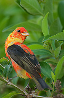 580980104 a wild spring transition plumage male scarlet tanager piranga olivacea perches on a tree limb on south padre island cameron county texas