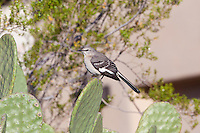 Northern Mockingbird, Arizona, USA