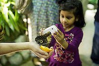 """A child from the Goddard Riverside Head Start Program photographs an owl butterfly (caligo eurilochus) in """"The Butterfly Conservatory:  Tropical Butterflies Alive in Winter"""" at the American Museum of Natural History in New York on Thursday, October 6, 2011.  500 butterflies hover above the visitors in the 1200 square foot  vivarium where children and adults can observe and play amongst the flying beauties.  (© Frances M. Roberts)"""