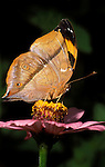 Autumn Leaf Butterfly, Doleschallia bisaltide, Nymphalidae sp. Malaysia adult side view wings closed Thailand on pink flower.Malaysia....