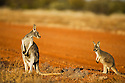 Australia,  NSW, Sturt National Park; red kangaroo female with joey(Macropus rufus); the red kangaroo population increased dramatically after the recent rains in the previous 3 years following 8 years of drought