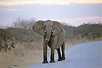 Elephant On Road, Hwange Natl. Park