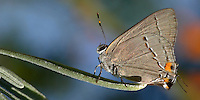 Small Hairstreak Butterfly on lavender leaf.