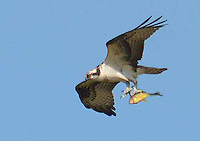 Courtesy photo/TERRY STANFILL<br /> BREAKFAST TO GO<br /> An osprey carries a fish to a tree branch after catching it at Swepco Lake near Gentry. Terry Stanfill of the Decatur area took the picture in October.