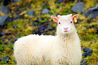 Icelandic female lamb with yellow tag in her ear.
