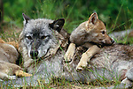 Grey wolf with pups, Flathead Valley, Montana