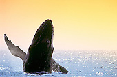 Humpback Whale (Megaptera novaeangliae) breaching at sunset, Hawaii, USA, Pacific Ocean