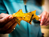 Bits of plastic cling to a leaf that was part of sample collected from the Chesapeake Bay. Julie Lawson, executive director of Trash Free Maryland, organized a 4 day expedition that included Stiv Wilson of 5 Gyres, representative of the EPA and other environmental groups, educators and journalists. <br /> <br /> PHOTOS/John Nelson