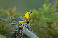 592305002 a wild male prothonotary warbler protonotaria citrea perches on a tree limb in jasper county texas