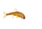 Male minnow in breeding condition in field studio