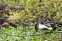 A black-crowned night heron sits on a branch in Jean LaFitte National Park after catching a blue gill.