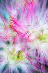 Mimosa flowers macro, Levy Park & Preserve, South Merrick, New York, USA, summer 2015
