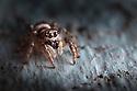 Zebra spider {Salticus scenicus} female stalking prey on fence panel. Peak District National Park, Derbyshire, UK. August.