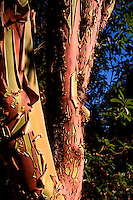Detail of Peeling Bark on Arbutus (Arbutus menziesii) Tree Trunk, Saltspring (Salt Spring) Island, BC, British Columbia, Canada, Summer