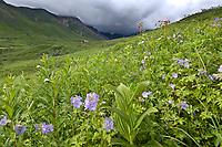 Wildflower meadow in Hatcher Pass, Alaska.